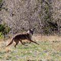 Colorado Rocky Mountain Coyote by Steve Krull