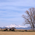 Colorado Springtime Cattle by James BO Insogna