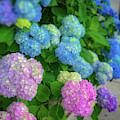 Colorful Hydrangeas by Lora J Wilson