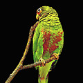 Colorful Parrot by Max Huber