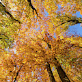 Colorful Trees In Fall by Matthias Hauser