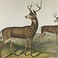 Columbian Black-tailed Deer By Audubon by John James Audubon