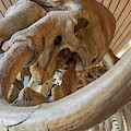 Columbian Mammoth by Jim West