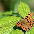 Comma Butterfly Sitting On A Leaf by Scott Lyons