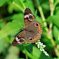 Common Buckeye Butterfly Din0276 by Gerry Gantt