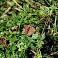 Common Buckeye Butterfly by John Trommer