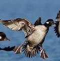 Buffleheads Landing Approach by Sue Harper