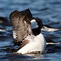 Bufflehead Wings Up by Sue Harper