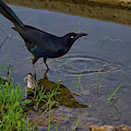 Common Grackle by Debby Richards