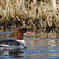 Common Merganser On The Lake by Sue Harper