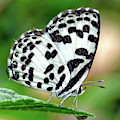 Common Pierrot Butterfly by Anthony Dezenzio