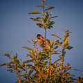 Common Reed Bunting #i8 by Leif Sohlman