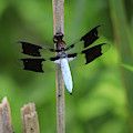 Common Whitetail Or Long-tailed Skimmer by Paula Guttilla