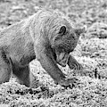 Concentrating Coastal Brown Bear In Monochrome by Mark Hunter