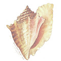 Conch Shell by Carolyn Shores Wright