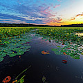 Concord Ma Great Meadows Sunset Lotus Bloom Lilly Pads by Toby McGuire