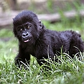 Congo Battles To Save Wildlife After by John Moore