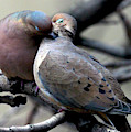 Cooing Mourning Doves 2 by Patricia Youngquist