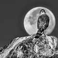Coopers Hawk With Moon Bw by Rick Mosher