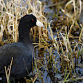Coot On The Lookout by Sue Harper