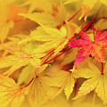 Coral Bark Japanese Maple Leaves In Autumn by Carolyn Derstine