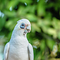 Corellas Outside During The Afternoon. by Rob D Imagery