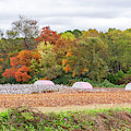 Cotton Rolls In The Fall by Jack Peterson