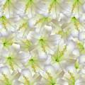 Cotton Seed Lilies by Rockin Docks