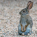 Cottontail Rabbit 5338-121518-1 by Tam Ryan