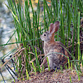 Cottontail Rabbit Eating Cattails 8685-042819 by Tam Ryan