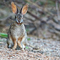 Cottontail Rabbit With Twigs 7278-042518-1 by Tam Ryan