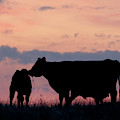 Cow And Calves After Sunset 01 by Rob Graham