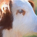 Cow Portrait 2 by Andrea Anderegg