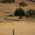 Cows In Utah Pastureland  by Colleen Cornelius