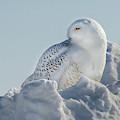 Coy Snowy Owl by Rikk Flohr
