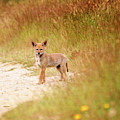 Coyote Pup On The Trail by Peggy Collins