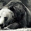 Cozy Yet Deadly - Grizzly Bear by Glenn McCarthy Art and Photography
