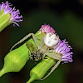 Crab Spider With Bee by Larah McElroy