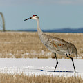 Crane by Ronnie and Frances Howard