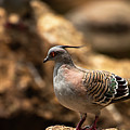 Crested Pigeon by Rob D Imagery