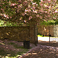 Crichton Church Entrance Gate And Tree In Pink Bloom by Victor Lord Denovan