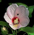 Crimson-eyed Rosemallow With Bumblebee Dsmf0149 by Gerry Gantt