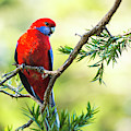 Crimson Rosella by Rob D Imagery