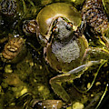 Croaking Pacific Tree Frog by Jean Noren