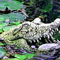 Crocodile Profile. by Trudee Hunter
