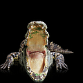 Crocodile With A Wide Open Mouth by John Lund