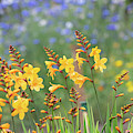Crocosmia Buttercup Flowers by Tim Gainey