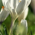 Crocus Closeup by Framing Places
