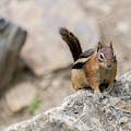 Curious Chipmunk by Kaitlyn Casso