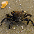 Curious Crab by Victoria Williams